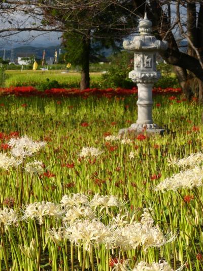 「恩林寺」のヒガンバナ_2020(2)_咲き始めました。見頃開始です。(群馬県・邑楽町)