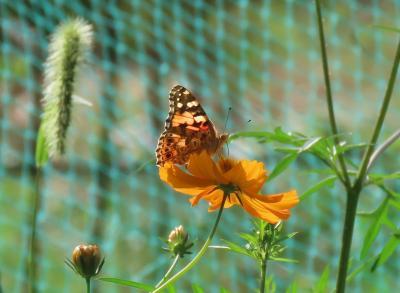 森のさんぽ道で見られた蝶(55)ヒメアカタテハ、ツマグロヒョウモン、キアゲハ、ウラギンシジミ他