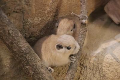 クオッカとトリプル赤ちゃん制覇の埼玉こども動物自然公園(後編)グンディとフェネックの赤ちゃんに会えた~レッサーパンダはソウソウと双子の北園