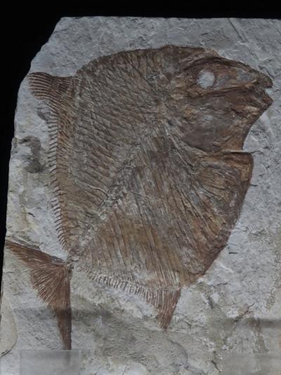 いわき-8 環境水族館 ≪海・生命の進化≫  シーラカンス:最新研究 ☆魚類など貴重化石