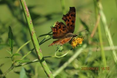 森のさんぽ道で見られた蝶(56)キアゲハ、ミドリヒョウモン、キタテハ、ウラナミシジミ他