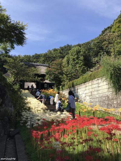 秋空に映える3色の彼岸花@新羽・西方寺