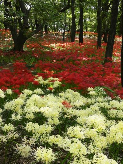 「境御嶽山自然の森公園」のヒガンバナ_2020_見頃終盤です。今年は花が多いかも(群馬県・伊勢崎市)