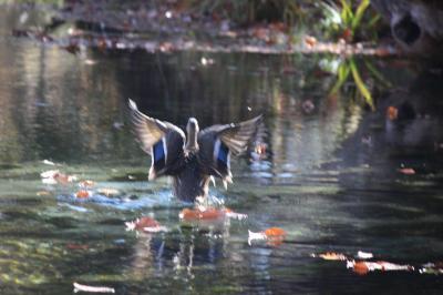 中禅寺湖でのんびり秋旅2:戦場ヶ原と竜頭の滝、中宮祠・菖蒲が浜線歩道の巻