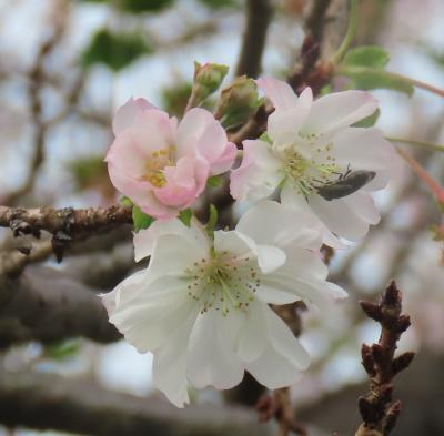その後の冬桜を見ました