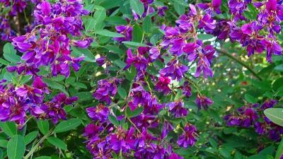 宝塚市の田畑の畦道等に咲く彼岸花を探して その1。