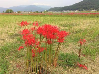 2020 丹波亀岡の秋:曼殊沙華と秋桜