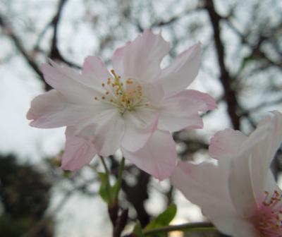その後の冬桜・・コンパクトカメラによる撮影