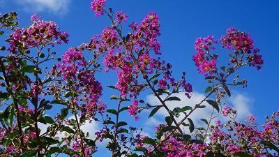 宝塚市の田畑の畦道等に咲く彼岸花を探して その4。