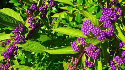 宝塚市の田畑の畦道等に咲く彼岸花を探して その6完。