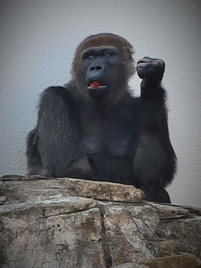 千葉市動物公園-3 モンキーゾーン ニシゴリラ「モンタ」筆頭に ☆チンパンジー・フクロテナガザルも