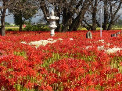 「恩林寺」のヒガンバナ_2020(3)_ほぼ満開、見頃最盛期でした。(群馬県・邑楽町)