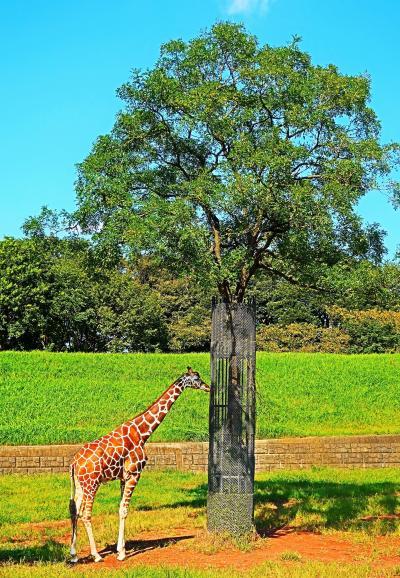 千葉市動物公園-4 草原ゾーン キリン・ゾウ・シマウマ・カンガルー・・☆チーターは見逃し