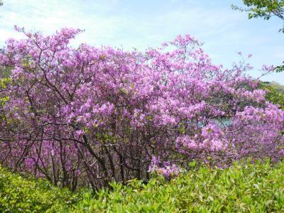 2020年4月 山口県 江汐公園にミツバつつじを見に行きました。