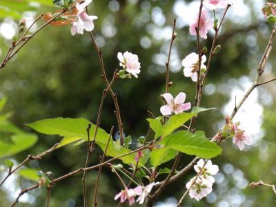 秋に咲く桜(小菅ヶ谷北公園)