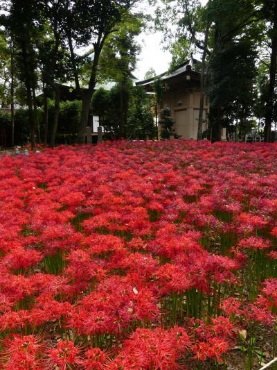「正方寺」のヒガンバナ_2020_見頃と、傷んだ花と、枯れた花が、ほぼ同率(群馬県・太田市)