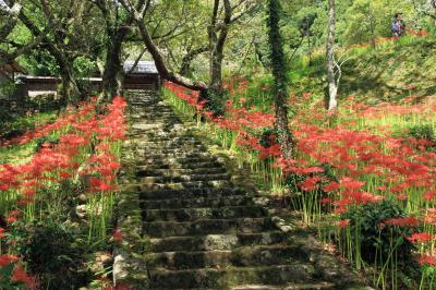 佛隆寺の彼岸花 見事に復活しています。