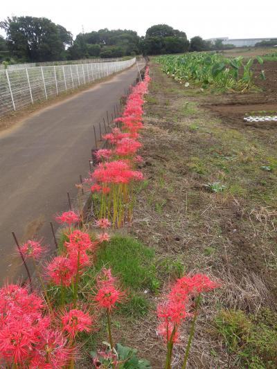 所沢市南永井付近の散策②・・彼岸花と植木畑の風景