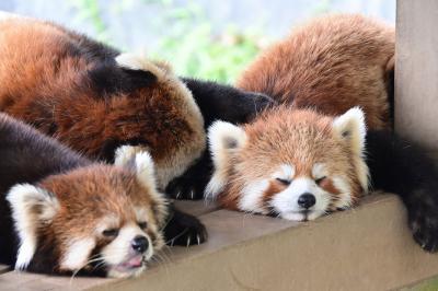 レッサーパンダはかわゆい !!! 鯖江市西山動物園