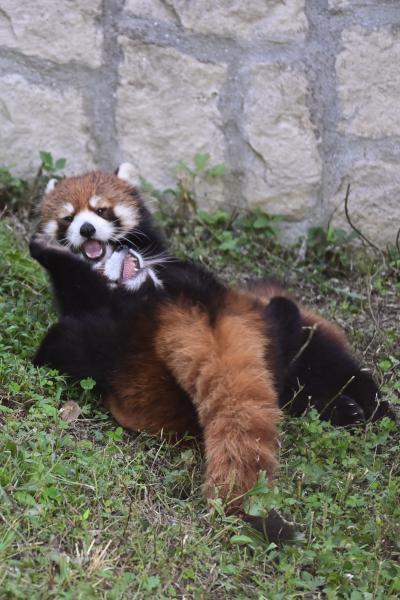 レッサーパンダはかわゆい !!!  安佐動物公園 。仁義なき戦い・広島仔闘編??