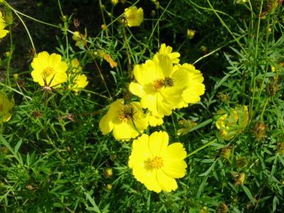 くりはま花の国コスモス園