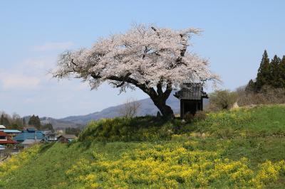 小沢の桜・弁天桜・永泉寺の桜・夏井千本桜
