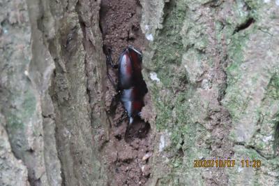 森のさんぽ道で見られたノコギリクワガタ その7