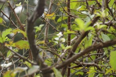 秋に咲く桜(小菅ヶ谷4字飛石)