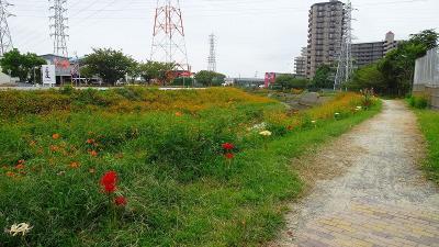 天神川と天王寺川の堤防等に咲く、彼岸花を探しに行きました その5。