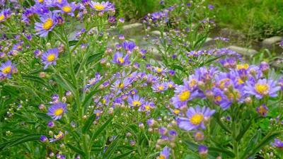 天神川と天王寺川の堤防等に咲く、彼岸花を探しに行きました その6。