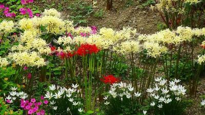天神川と天王寺川の堤防等に咲く、彼岸花を探しに行きました その7。