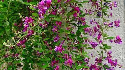 天神川と天王寺川の堤防等に咲く、彼岸花を探しに行きました その8完。