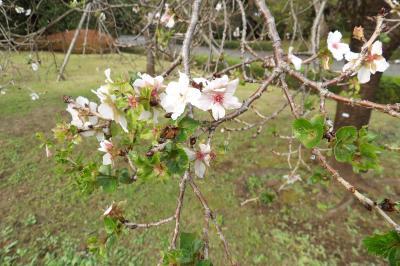 皇居東御苑の十月桜