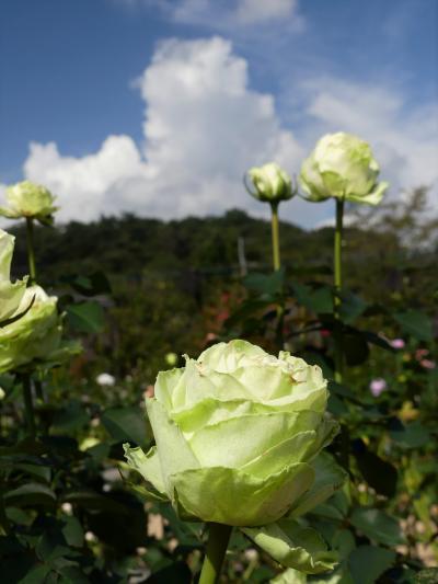「あしかがフラワーパーク」の秋バラ_2020_見頃過ぎ? いや、綺麗な花が咲いてます(足利市)