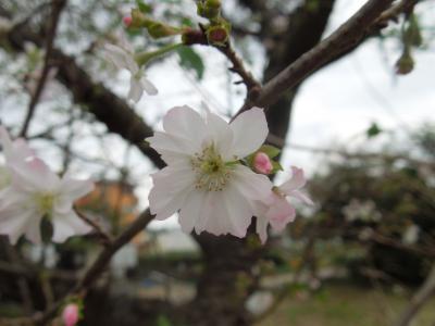 久し振りに冬桜を見ました