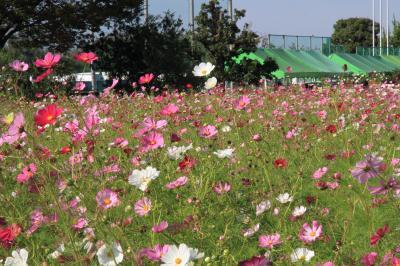 和泉リサイクル環境公園のコスモス