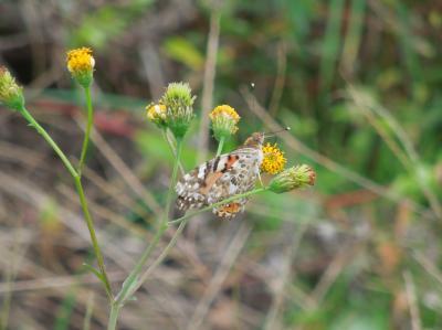 所沢市南永井付近の風景①コセンダングサ等に集まる蝶
