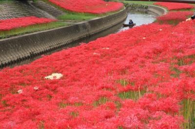 紅に燃ゆる♪ 逢妻女川の彼岸花鑑賞が面白くなりました♪