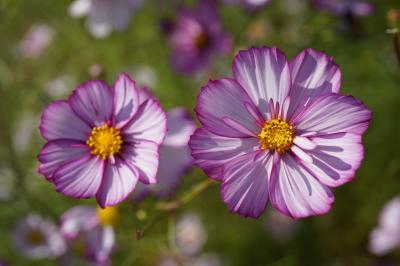 20201015-3 福岡 海の中道海浜公園のはなまつり 其の二は虹の花壇・彩りの花壇のコスモス