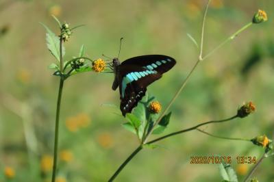 森のさんぽ道で見られた蝶(59)アオスジアゲハ、モンキチョウ、キタテハ、ウラナミシジミ他