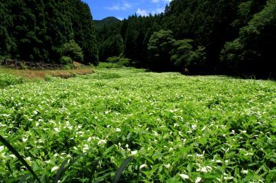岡田の谷の半夏生を鑑賞、御杖神社参拝。 奈良県御杖村