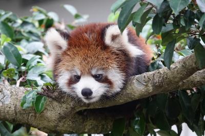鯖江市西山動物園 いよいよ2020年生まれ仔パンダ紀行始まる!! 初めての子育てを頑張るかのこママとピースケ君に会いに西山へ