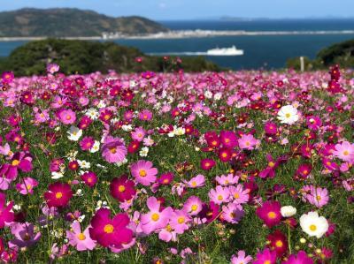 三年ぶりの能古島はコスモス満開でとっても綺麗でした!