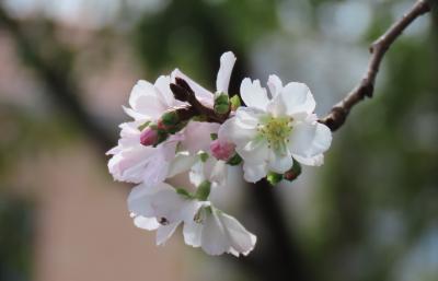 清楚な冬桜