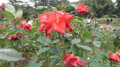 京都植物園の四季-その8 (コスモスと秋のバラ)