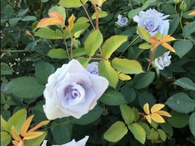 秋バラを楽しむ「花フェスタ記念公園」