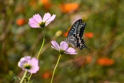 「 秋の花咲き 蝶が舞う 浜離宮恩賜庭園 さんぽ 」 2020