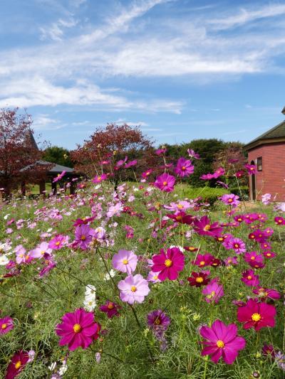「深谷グリーンパーク」のコスモス_2020_見頃終盤、今年は花が少ない?(埼玉県・深谷市)