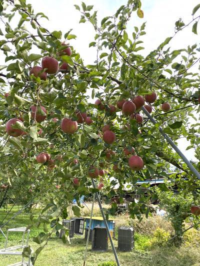 長野でりんご狩り