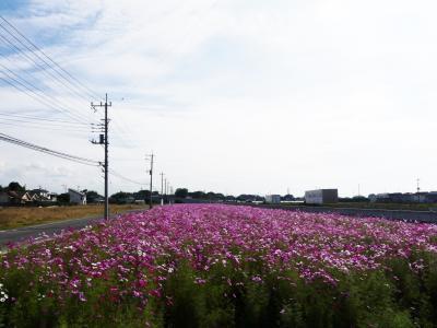 玉村町・国道沿いのコスモス_2020_綺麗に咲き揃っていました。(群馬県・佐波郡玉村町)